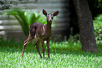 Black Whitetail Fawn