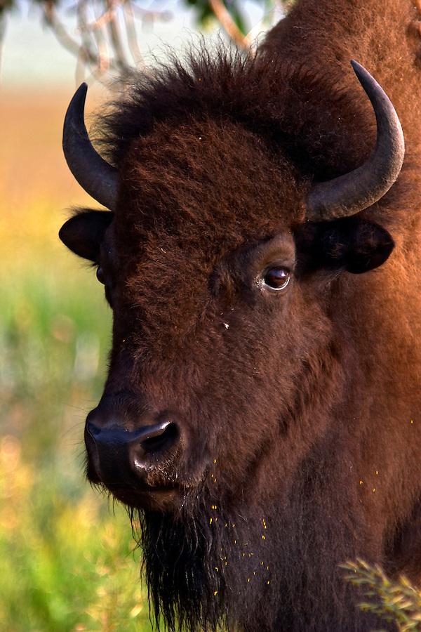 Head of female bison, Grand Teton National Park, Teton County, Wyoming, USA