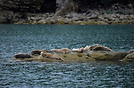 Harbor Seals lay on rocks in Katmai National Park, Alaska.