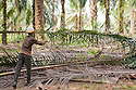A worker collecting a fresh cut oil palm fronds, with red palm fruits on ground. The Sindora Palm Oil Plantation, owned by Kulim, is green certified by the Roundtable on Sustainable Palm Oil (RSPO) for its environmental, economic, and socially sustainable practices. Johor Bahru, Malaysia