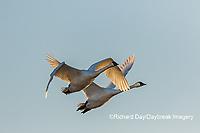 00758-01715 Trumpeter Swans (Cygnus buccinator) in flight Riverlands Migratory Bird Sanctuary St. Charles Co., MO