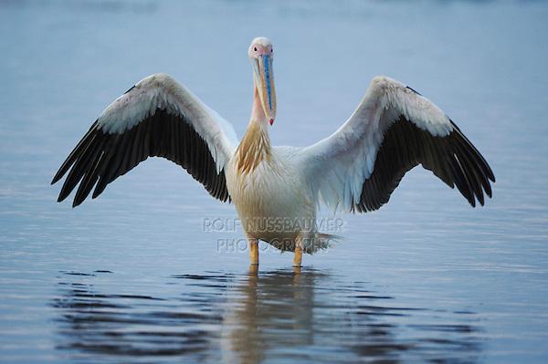 Eastern White Pelican (Pelecanus onocrotalus) adult, Lake Nakuru, Kenya, Africa