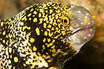 Snowflake moray eel,  Echidna nebulosa, Basura dive site, Anilao, Batangas, Philippines, Pacific Ocean