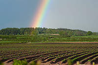Rainbow over potato field in spring showing plants growing through ridges, Wetheral, Cumbria.....Copyright..John Eveson,.Dinkling Green Farm,.Whitewell,.Clitheroe,.Lancashire..BB7 3BN.Tel. 01995 61280.Mobile 07973 482705.j.r.eveson@btinternet.com.www.johneveson.com