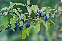 Blackthorn, Prunus spinosa, fruit, Unterlunkhofen, Switzerland, August 2006