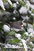 01569-014.20 Dark-eyed Junco (Junco hyemalis) in Balsam fir tree in winter, Marion Co. IL