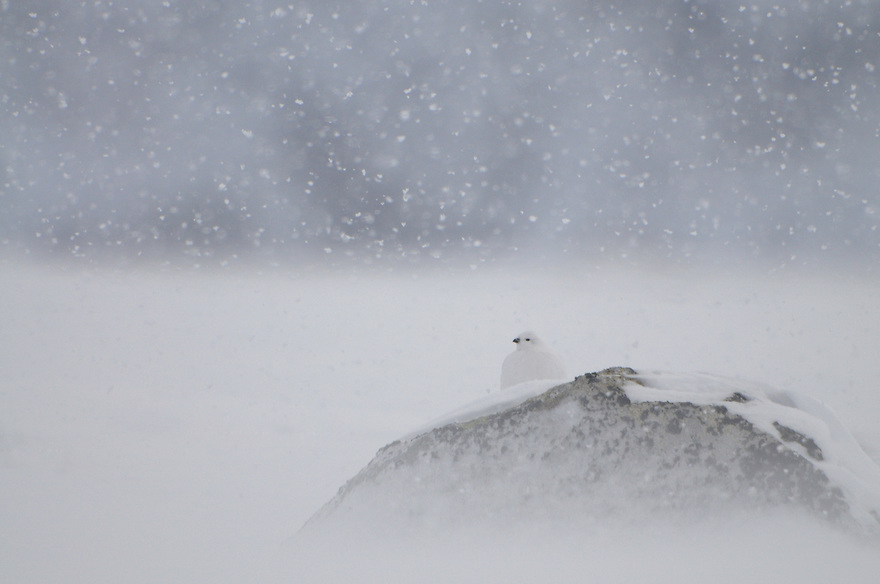 Rock Ptarmigan, (Lagopus muta)  dovrefjell national park , norway, february,