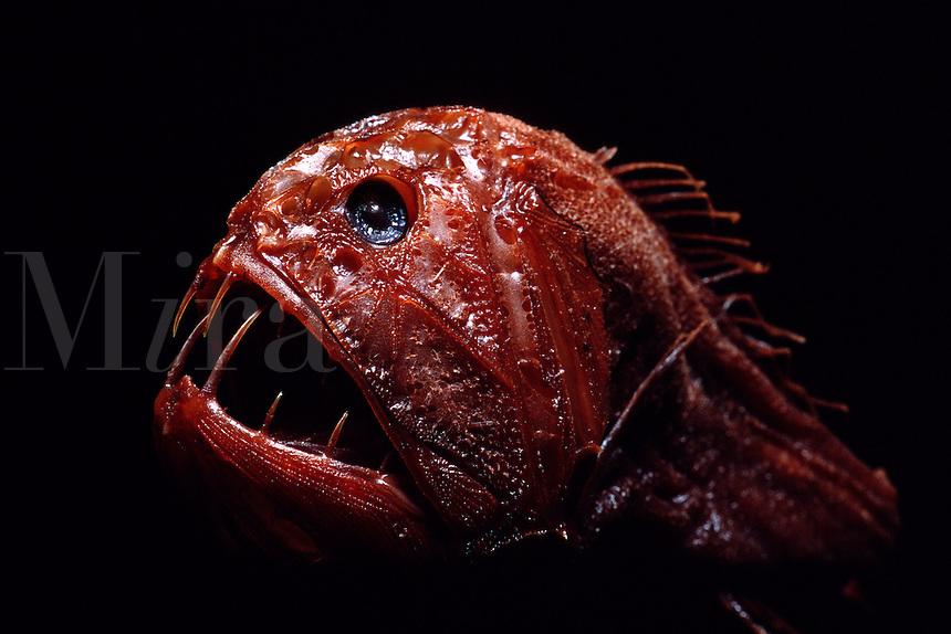 Fangtooth, Anoplogaster cornuta, is a deep ocean predator. Its long teeth makes sure it does not miss a meal of fishes, squid or shrimp.