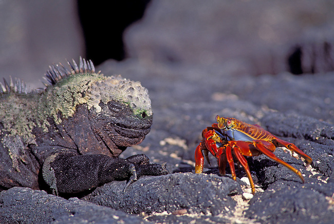 ECUADOR, GALAPAGOS ISLAND, FERNANDINA IS., MARINE IGUANA AND SALLY-LIGHTFOOT CRAB