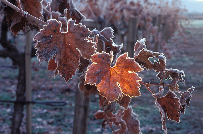 Frost lines leaves at sunrise in vineyard