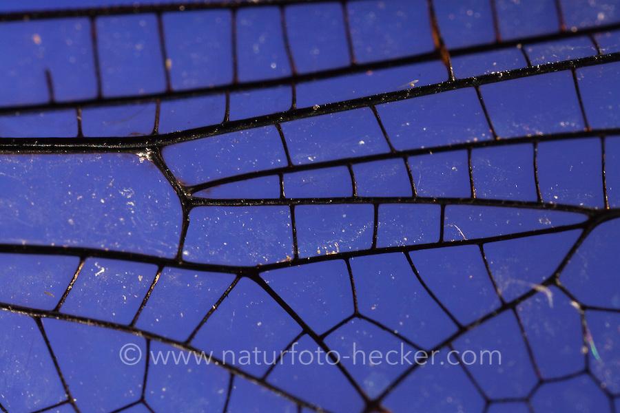 Flügel einer Libelle, Flügelgeäder, Flügeladerung, Blaugrüne Mosaikjungfer, Blaugrüne-Mosaikjungfer, Aeshna cyanea, Aeschna cyanea, blue-green darner, southern aeshna, southern hawker