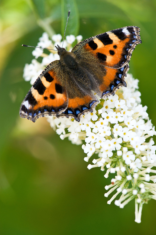 Small tortoiseshell butterfly (Aglais urticae) on white buddleia, Somerset, late August.
