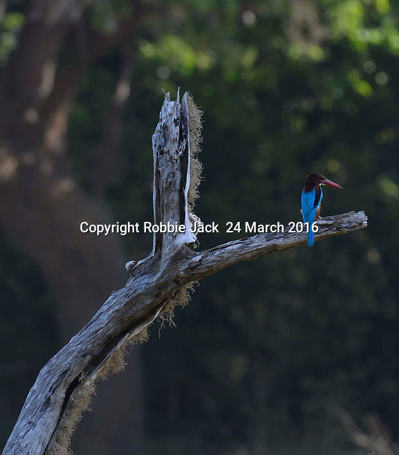 Yala National Park Sri Lanka<br /> White Breasted Kingfisher