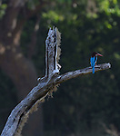 Yala National Park Sri Lanka<br /> White Breasted Kingfisher