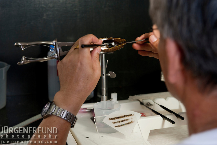 Jewelmer Pearlfarm, Japanese worker inserts nucleus. It takes10 years of experience to master this