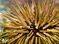 Close-up of a sea urchin in a tide pool, Kona, Big Island.
