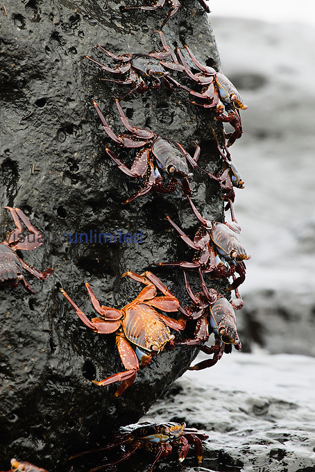 Sally Lightfoot Crabs (Graspus graspus) searching for algae to dine on in the intertidal zone, Santa Cruz Island, Galapagos, Ecuador.