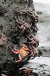 Sally Lightfoot Crabs (Graspus graspus) searching for algae to dine on in the intertidal zone, Santa Cruz Island, Galapagos, Ecuador.