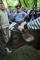 Moscow, Russia, 12/05/2012..A policeman phones for instructions on what to do after protesters brought a cow wearing an opposition white ribbon on its horns to Chistiye Prudy, or Clean Ponds, a park in central Moscow were some 200 opposition activists have set up camp. The cow was brought by a group of farmers protesting against Russia's plans to join the World Trade Organisation.