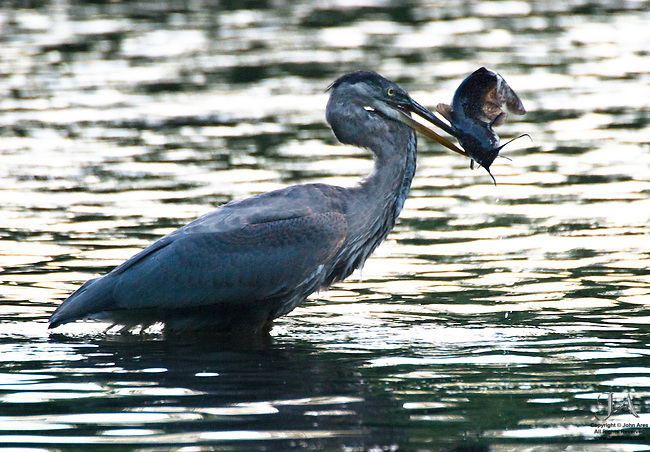 Great Blue Heron catching large catfish, be careful what you wish for
