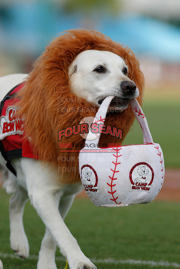 Myrtle Beach Pelicans baseball delivery dog and mascot Deuce dressed as a lion for Halloween Night do during a game against the Potomac Nationals at Ticketreturn.com Field at Pelicans Ballpark on July 1, 2018 in Myrtle Beach, South Carolina. Myrtle Beach defeated Potomac 6-1. (Robert Gurganus/Four Seam Images)