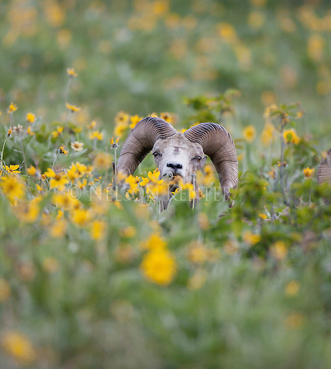bighorn sheep ram in a field of flowers in montana