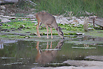 Mule deer drinking in New Years Creek at Ano Nuevo SR