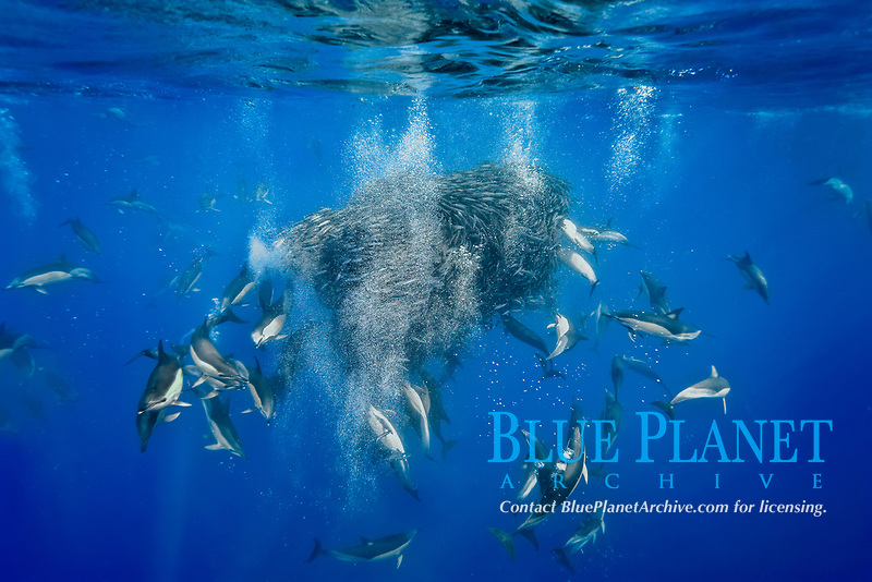 short-beaked common dolphins, Delphinus delphis, attacking and preying on a baitball of blue jack mackerel, Trachurus picturatus, by effectively blowing bubbles to herd the fish into a tight ball formation as well as to startle and separate individual fish from the baitball, offshore open ocean, Azores, Portugal, Atlantic Ocean