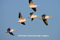00671-01001 American White Pelicans (Pelecanus erythrorhynchos) in flight  Riverlands Environmental Demonstration Area,  MO