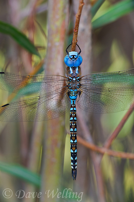 339360063 a wild male blue-eyed darner rhionaeschna multicolor perches on a plant stem along the jean blanc canal near bishop in inyo county california