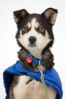 Mitch Seavey 's dog *Antelope* is alert at Takotna during Iditarod 2009