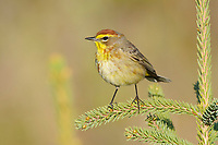 Adult male Palm Warbler (Dendroica palmarum) of the western subspecies D. p. palmarum in breeding plumage. Alberta, Canada. May.