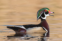A male Wood Duck (Aix sponsa) calling his mate at Santee Regional Park, Santee California.