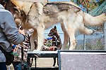 LAKE HUGHES - MAY 21: Paul and Colette Pondella have 10 wolfdogs in their pack at the Shadowland Foundation. They are seen training the animals, including the one pup in the pack named Wahkahn, at their home in Lake Hughes, California May 21, 2015. (Photo by Kendrick Brinson)