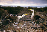 Waved albatross, Galapagos Islands, Ecuador