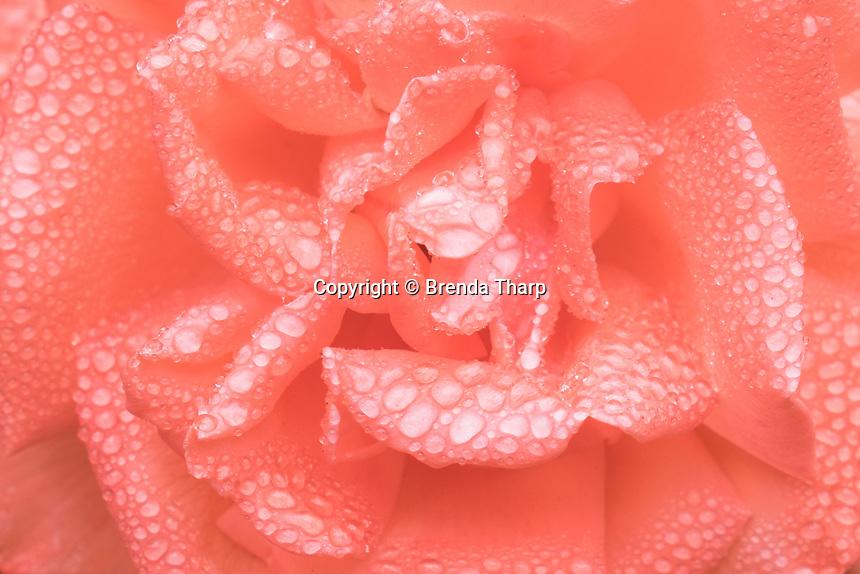 Raindrops coat the petals of a rose.
