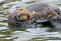 Sea Otter (Enhydra lutris) mom with pup being investigated by third sea otter.