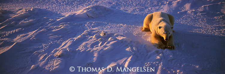 A polar bear rests on the snow after a blizzard at Cape Churchill in Manitoba, Canada.