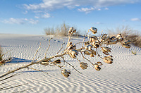 Yucca plant seedpods at White Sands National Monument in New Mexico.