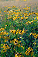 Orange sneezeweed<br />