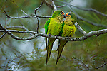 Peach-fronted parakeets, Brazil