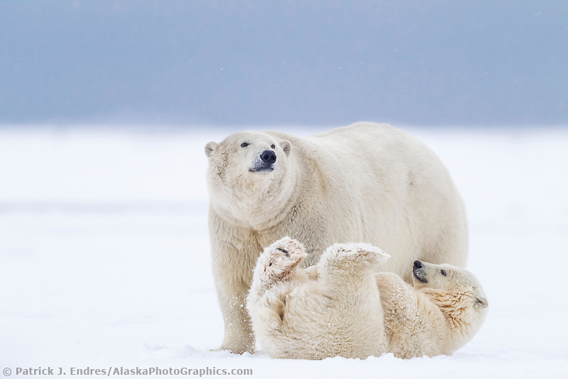 Polar bear sow and cub of the year in the snow on a barrier island in Alaska's Beaufort Sea, Arctic National Wildlife Refuge.