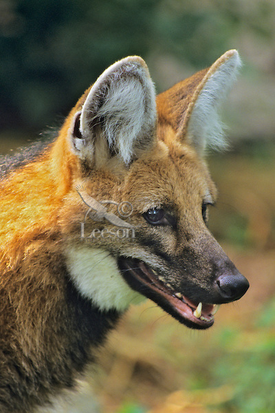 Maned wolf (Chrysocyon brachyurus).  Found in South America.