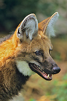 Maned wolf (Chrysocyon brachyurus).  Found in South America.