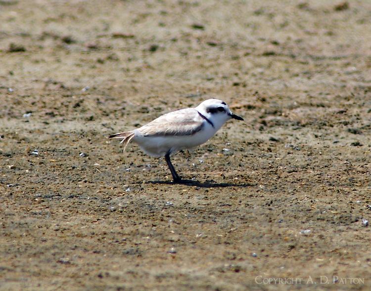 Snowy plover in breeding plumage