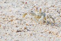 Ghost crab (Ocypode), La Digue, Seychelles, Africa