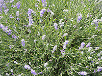 Lavendar bush in bloom. Seven Oaks Lavender Farm, Catlett, Virginia