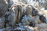 dudleya on rocks at Point Lobos State Reserve