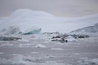 Small Inuit fishing boat picking way carefully through drift ice. Icefjord world heritage site  from  Jakobshavn Glacier, Ilulissat, Disco Bay, Greenland