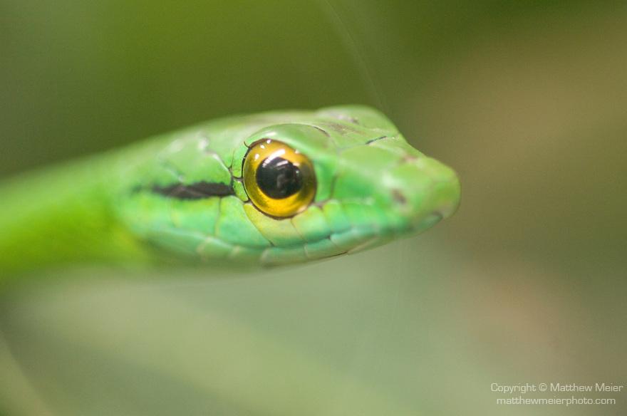Monteverde, Costa Rica; Green tree snake (Leptophis nebulosus) , Copyright © Matthew Meier, matthewmeierphoto.com All Rights Reserved